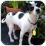 Photo 1 - Chihuahua/Fox Terrier (Toy) Mix Dog for adoption in petaluma, California - Tina