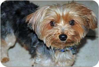 yorkie for adoption in nc yorkie yorkshire terrier dog for adoption in greensboro 2676