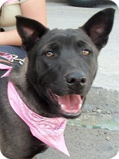 Belgian Malinois/German Shepherd Dog Mix Dog for adoption in San Diego, California - Gorda