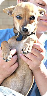 Chihuahua/Miniature Pinscher Mix Puppy for adoption in Temecula, California - Mason