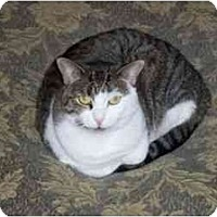 Domestic Shorthair Cat for adoption in Secaucus, New Jersey - Zasu