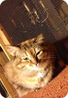 Domestic Mediumhair Cat for adoption in Jamaica Plain, Massachusetts - Bella