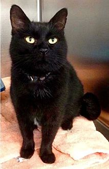 Domestic Shorthair Cat for adoption in Amarillo, Texas - Blackie