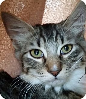 Domestic Mediumhair Cat for adoption in Mountain Center, California - Clawd