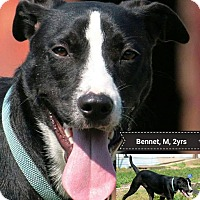 Adopt A Pet :: Bennet - Manchester, CT