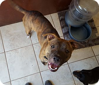 Pit Bull Terrier Mix Dog for adoption in Fort Worth, Texas - Amelia