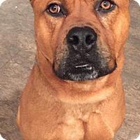 Adopt A Pet :: Cesar - Little Rock, AR
