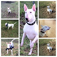 Bull Terrier Dog for adoption in Columbia, South Carolina - Maggie