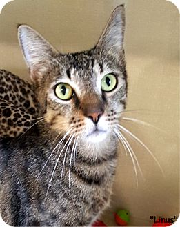 Domestic Shorthair Cat for adoption in Key Largo, Florida - Linus