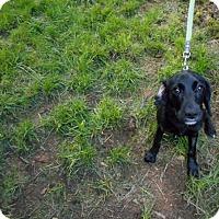 Adopt A Pet :: Tyler -Lab Mix Puppy - Kannapolis, NC