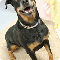Rottweiler Dog for adoption in LITTLETON, Colorado - Kharma