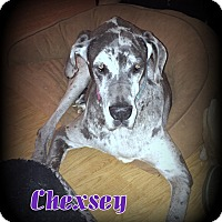 Adopt A Pet :: Chexsey - Denver, NC