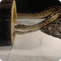 Adopt A Pet :: Dromeda - Holbrook, MA