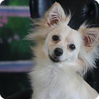 Adopt A Pet :: Jojo - Dallas, TX