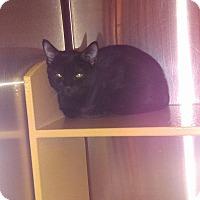 Domestic Shorthair Kitten for adoption in Lancaster, California - Flyte