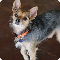 Brussels Griffon Mix Dog for adoption in San Antonio, Texas - Orzo