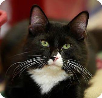 Domestic Longhair Kitten for adoption in Kettering, Ohio - Figaro
