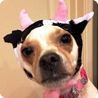 Chihuahua Mix Dog for adoption in Gilbert, Arizona - Zoey