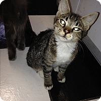 Domestic Shorthair Kitten for adoption in Port Charlotte, Florida - Cassie