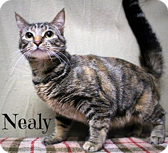 Domestic Shorthair Cat for adoption in Melbourne, Kentucky - Nealy