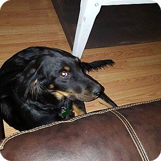 Hound (Unknown Type)/Collie Mix Puppy for adoption in Springfield, Missouri - Elliott