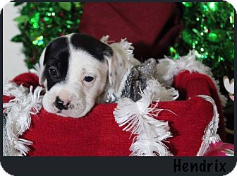 American Bulldog Mix Puppy for adoption in Tampa, Florida - Hendrix