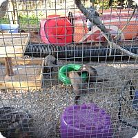 Adopt A Pet :: Ferrets (3M&2F) - Christmas, FL