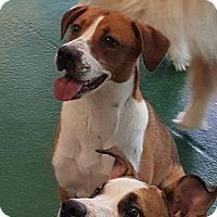 Boxer/Hound (Unknown Type) Mix Dog for adoption in Thomasville, North Carolina - Rikku