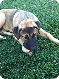 Anatolian Shepherd/Labrador Retriever Mix Puppy for adoption in Torrance, California - Max