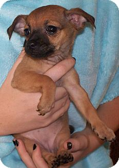 Chihuahua Mix Puppy for adoption in Vista, California - Tammy