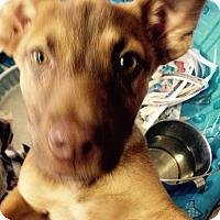 Adopt A Pet :: Shep pup 2 - Pompton lakes, NJ