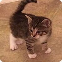 Adopt A Pet :: Scrapple - East Brunswick, NJ