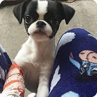 Adopt A Pet :: Ronnie Adoption pending - East Hartford, CT