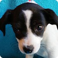 Adopt A Pet :: Yoki - Allentown, PA