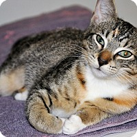Adopt A Pet :: MAXI (spayed calico kitten) - New Smyrna Beach, FL