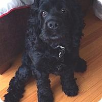 Adopt A Pet :: Arlo - Mt. Prospect, IL