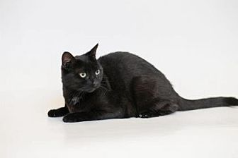 Domestic Shorthair Cat for adoption in El Dorado Hills, California - Jenny