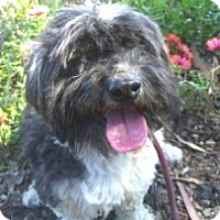 Havanese Mix Dog for adoption in Ventura, California - Tommy