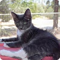 Adopt A Pet :: Storm - Lake Elsinore, CA