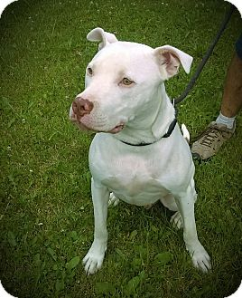 American Pit Bull Terrier Dog for adoption in Cherry Valley, New York - JAX (Jackson)
