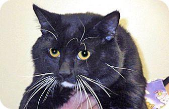Domestic Shorthair Cat for adoption in Wildomar, California - Maurice