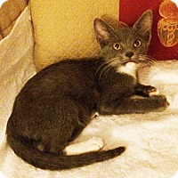 Domestic Mediumhair Kitten for adoption in Metairie, Louisiana - Gregory