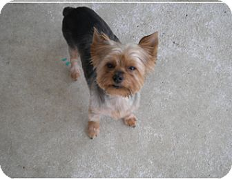 Yorkie, Yorkshire Terrier Dog for adoption in Baton Rouge, Louisiana - Chrissy