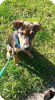 Hound (Unknown Type)/German Shepherd Dog Mix Puppy for adoption in Flemington, New Jersey - Baxter