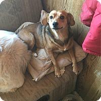 Adopt A Pet :: Poppie - Verona, NJ