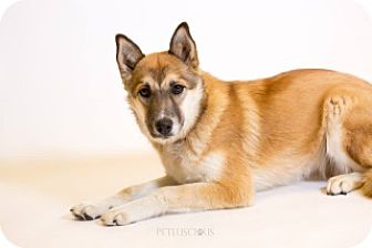 German Shepherd Dog/Husky Mix Dog for adoption in Los Alamos, New Mexico - Ali Bug