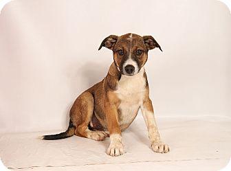 Australian Cattle Dog Mix Puppy for adoption in St. Louis, Missouri - Hank Heeler