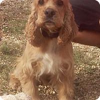 Adopt A Pet :: Cooper - El Cajon, CA
