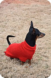 Dachshund/Miniature Pinscher Mix Dog for adoption in Hagerstown, Maryland - Gonzo