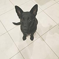 Adopt A Pet :: Zorro - Phoenix, AZ